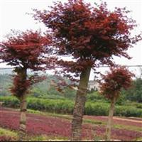 湖南绿化苗木花木红枫