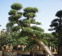 湖南绿化苗木花木榆树金叶榆造型