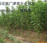 1公分以上樱桃苗大量出售樱桃苗