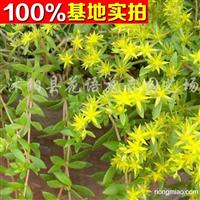 供应垂盆草、垂盆草苗、垂盆草小苗、垂盆草工程苗