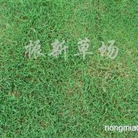 供应马尼拉草坪