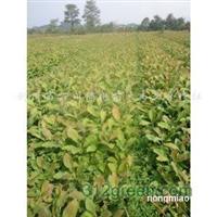 供应厚朴树苗(25-60公分)