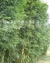 供应紫竹、早园竹、刚竹、窝竹、常夏石竹、箬竹