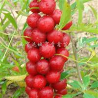 供应钙果苗、欧梨苗、山西钙果苗、钙果苗种植、中华钙果