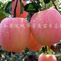 供应苹果苗、矮化苹果苗、长短枝苹果苗