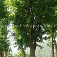供应移植香樟、黄山栾树、重阳木、樱花、高杆红叶石楠等