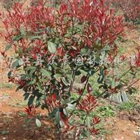 供应水杉、枫香、朴树、广玉兰等苗木