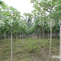 供应高杆木芙蓉、12-10公分木芙蓉