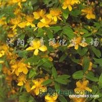 供应金丝桃、金丝梅、黄色花朵