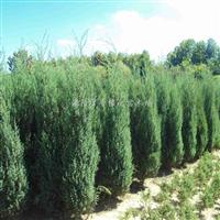 供应刺松、刺柏、松树、松柏、常绿植物、花卉、苗木