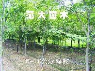 供应榉树、朴树、香泡、枫杨、北美枫香、紫叶紫荆