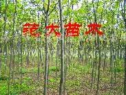 供2-4榉树、朴树一年生栾树、香樟小苗、乌桕小苗