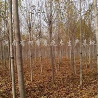 供应5-7CM辛荑4万棵、6-15CM七叶树量大