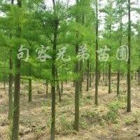 供应2-12公分池杉