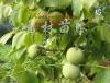 供应嫁接核桃苗、樱桃苗、山楂苗、桃树苗、苹果苗