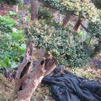 供应米兰树(古桩造型)