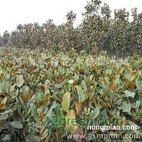 供应广玉兰、黄山栾树、红花草、水杉、黑松