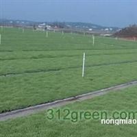 供应草坪、马尼拉、天堂草、马蹄金等
