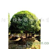 供应桂花、丹桂、广玉兰、栾树