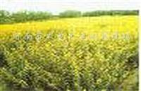 供应洒金柏、红叶小檗、金叶女贞、大叶黄杨
