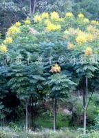 供应栾树、木槿、紫荆、迎春