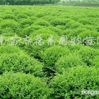 供应北海道黄杨、红叶小檗、金边黄杨、小叶黄杨、水腊