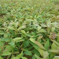 供应南天竹、大叶黄杨、桂花、北海道黄杨