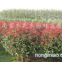 供应红叶小檗、法国冬青、红花继木、石楠、红叶石楠