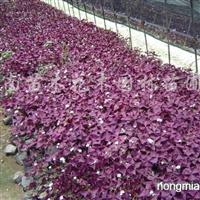 供应紫叶酢浆草、红花酢浆草、白花葱兰、红花葱兰