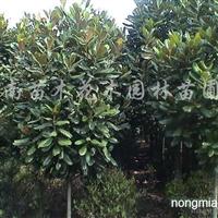 供应广玉兰、八月桂花、紫薇、南天竹