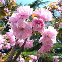 供应紫薇、百日红、枇杷、紫丁香、木槿、日本樱花