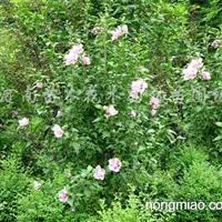 供应日本樱花、木槿、红瑞木、法国冬青、南天竹