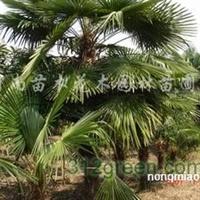 潢川棕榈价格、四季桂、火棘、夹竹桃