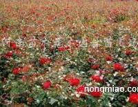 供应丰花月季、红帽月季、大花月季、大叶栀子花