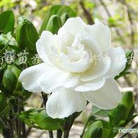 供应大叶栀子花、小叶栀子花、红王子锦带、金丝桃