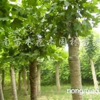 供应白玉兰、广玉兰、黄山栾树、法桐