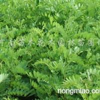 供应红枫、三角枫、五角枫、龙爪槐、垂槐、垂榆