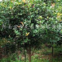 供应鄢陵花木、苗木