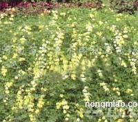 供应紫藤、常春藤、凌霄、爬山虎、五叶地锦