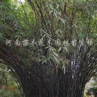 供应早园竹、淡竹、黑竹、紫竹、毛竹、铺地竹