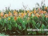 供应美人蕉、迎春、结香、杜鹃、海棠