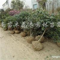 供应小叶女贞造型树、红花继木球、枸骨球