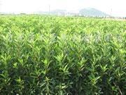 供应红叶小檗、茶花、茶梅、法国冬青等小苗