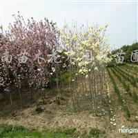 供应南天竹、锦带花、紫玉兰、龙柏、石楠