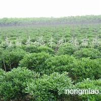 供应常绿花木、大叶黄杨、小叶黄杨、豆辨黄杨