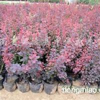 供应红叶小檗、丁香、棣堂、木槿、紫荆、金银木