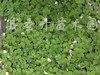 供应红花酢浆草