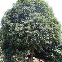供应地径10-15公分四季桂