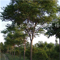 供应米径8-17cm栾树