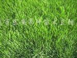 供应高羊茅、中华结缕草、马尼拉等草坪